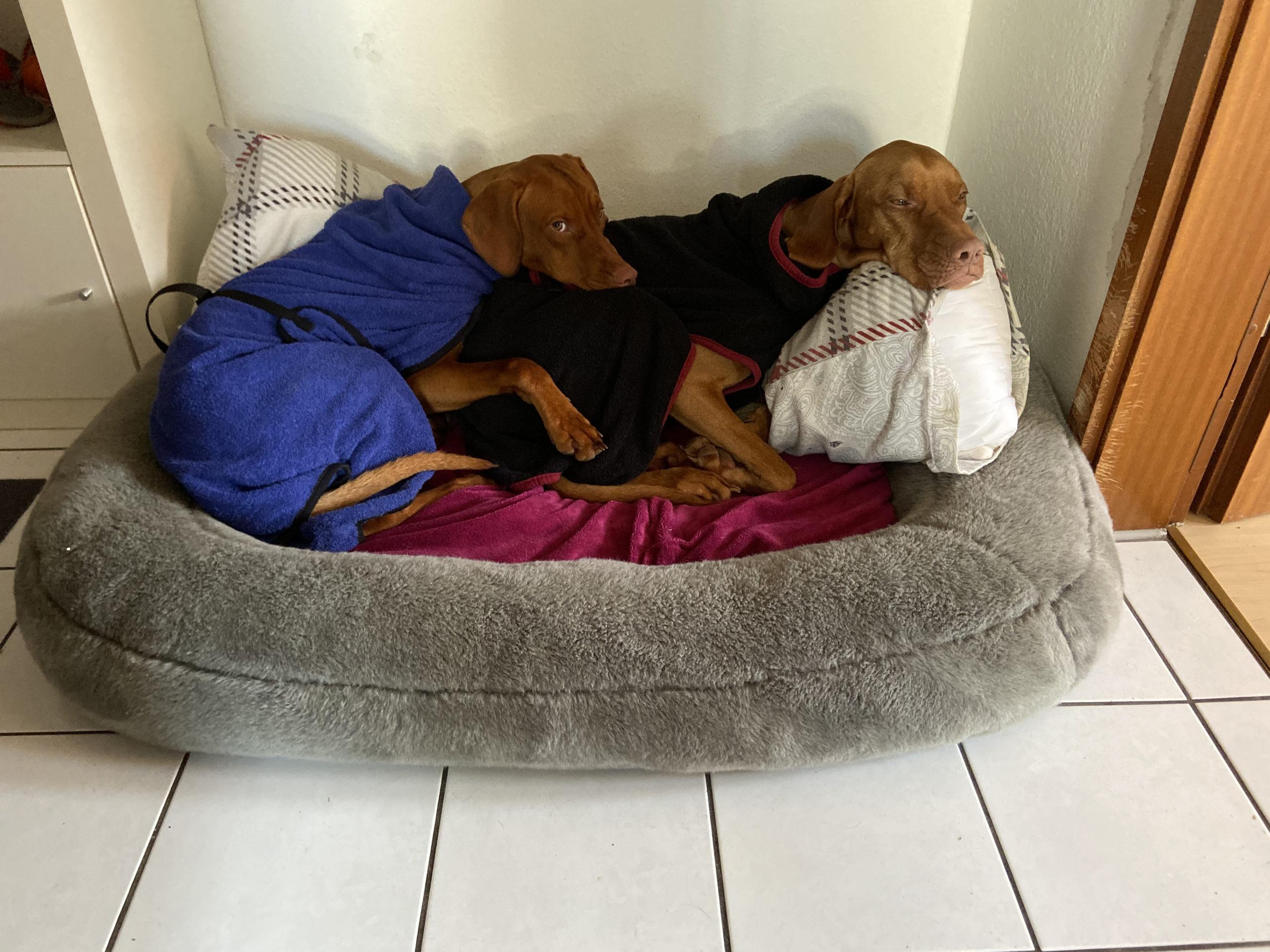 Zwei Hunde, die Bademäntel anhaben liegen in einem Hundebett