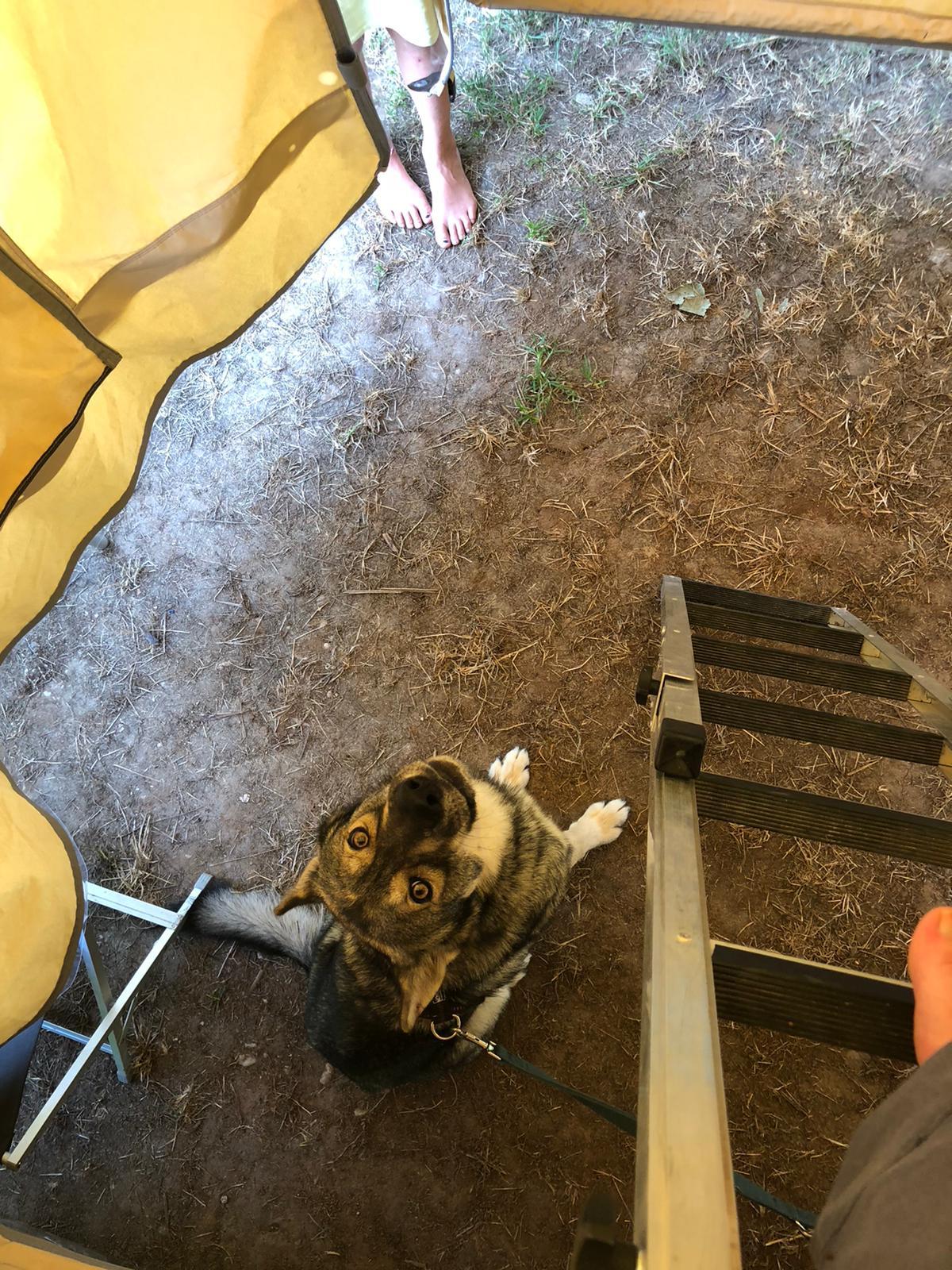 Hund sitzt auf dem Boden in einem Dachzelt Vorzelt, neben einer Leiter und schaut hoch